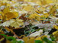 Autumn Leaves Montreal.JPG