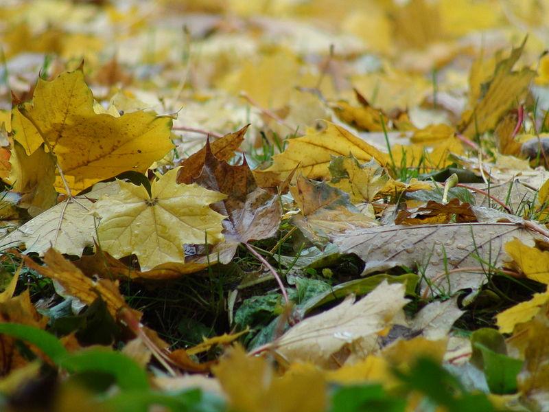 File:Autumn Leaves Montreal.JPG