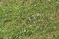 Autumn crocus - Colchicum autumnale - panoramio (4).jpg