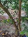 Averrhoa carambola tree.jpg