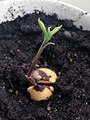 Avocado sprout.jpg