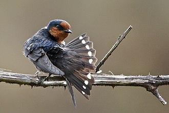 Hirundo - Image: BARN SWALLOW