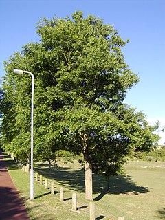<i>Ulmus minor</i> Viminalis Elm cultivar