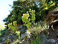 BISCUTELLA LAEVIGATA - LA COMA - IB-201 (Herba de les llunetes).jpg