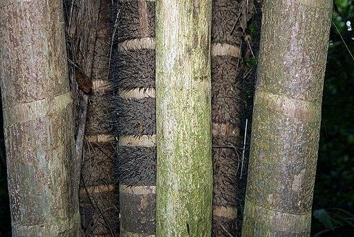 Chonta Bactris gasipaes