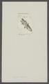 Balanus stellatus - - Print - Iconographia Zoologica - Special Collections University of Amsterdam - UBAINV0274 101 02 0014.tif