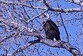 Bald eagle monte vista preserve (16767349516).jpg