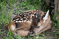 Bambi (2729601564).jpg