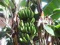 Banana farm at Bayamon, Puerto Rico.jpg