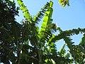 Banana plants in La Joya, December 2008 - panoramio.jpg