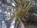 Banksia aquilonia RBG4.jpg