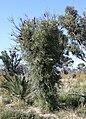 Banksia attenuata resprouter.jpg