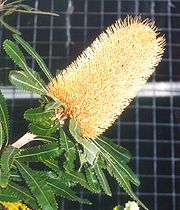 Banksia serrata flwr1 email