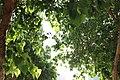 Banyan Sun Light.jpg