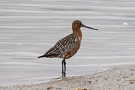 Bar-tailed Godwit (Limosa lapponica).jpg