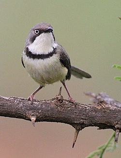 Bar-throated Apalis, Apalis thoracica, at Marakele National Park, Limpopo, South Africa (16216636460).jpg