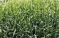 Barley ears (LPCC, 432).jpg
