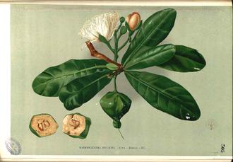Barringtonia asiatica - from Flora de Filipinas