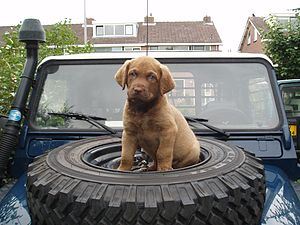 English: Chesapeake Bay Retriever puppy (6week...