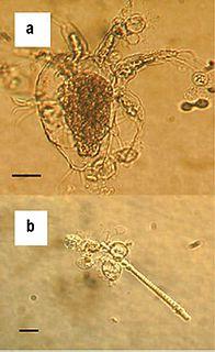 <i>Batrachochytrium dendrobatidis</i> species of fungus