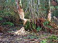 Beaver coppicing - geograph.org.uk - 1623396.jpg