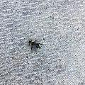 Bee crawling towards grass, Alberta, Canada.jpg