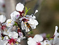 Bee flying to almond flower.jpg