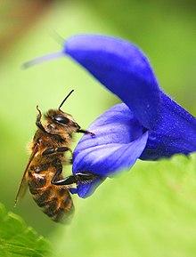 птах який ість домашніх бджіл фото