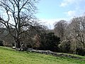 Beech Tree above Greenway House - geograph.org.uk - 369240.jpg