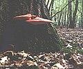 Beefsteak Fungus - geograph.org.uk - 537151.jpg