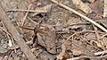 Beetle (Coleoptera) - Guelph, Ontario 08.jpg