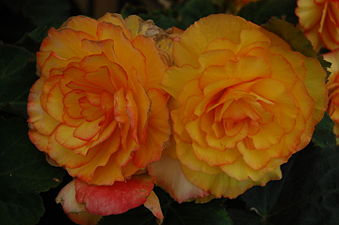 Begonia 'On Top Sunset Shades' 01.JPG