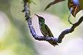 Beija-flor-de-garganta-verde (Amazilia fimbriata) - Glittering-throated Emerald.jpg