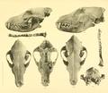 Beitrag zur Kenntnis der nordafrikanischen Schakale nebst Bemerkungen über deren verhältnis zu den haushunden, insbesondere uordafranischen und altägyptischen Hunderassen (1908) Tafel 3.png