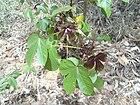 Bellyache Bush (Cottonleaf Physic Nut) Jatropha gossipifolia plant.JPG