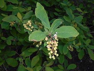 <i>Berberis amurensis</i> Species of plant