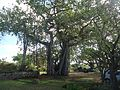 Bermuda (UK) image number 241 cool looking tree on grounds of arboretum.jpg
