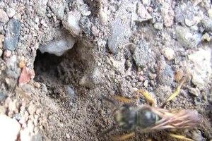 File:Bienenwölfe im Botanischen Garten.ogv