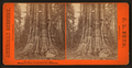 Big Tree A. Lincoln, 320 feet high, Mmammoth trees of Calaveras Co., California, by Pond, C. L. (Charles L.).png
