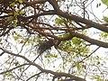 Bird Nest on a Beech tree (Millettia pinnata) in Andhra University.jpg