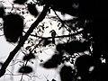 Bird White-throated Brown Hornbill IMG 4614 06.jpg