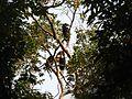 Bird Wreathed Hornbill Rhyticeros undulatus IMG 9195 (16).jpg