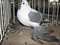 Birds exhibition - Cluj-Napoca - pigeons (3189005402).jpg