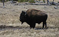 Bison classic profile Yellowstone.jpg