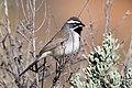 Black-throated Sparrow (Amphispiza bilineata) (20324942676).jpg