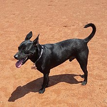 Black 8 Year Taiwan Dog.jpg
