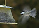 Black Capped Chickadee hovering at feeder.jpg