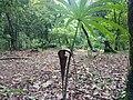 Black Lili Cobra Plant.jpg