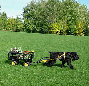 Carting - A Black Russian Terrier carting