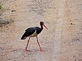 Black Stork (Ciconia nigra) crossing the road (12638391965).jpg